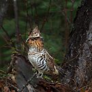 Ruffed Grouse - Algonquin Park, Canada by Jim Cumming
