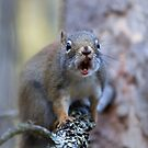 Chatter Box - Red Squirrel - Algonquin Park, Canada by Jim Cumming