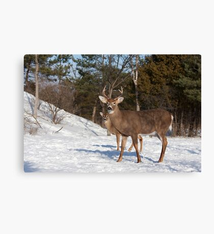 White-tailed deer buck and fawn in the winter snow Canvas Print