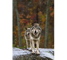 Double Trouble - Timber Wolves Photographic Print