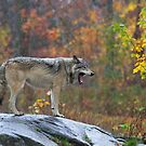 Timber Wolf in the rain by Jim Cumming