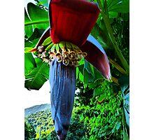 banana - platano Photographic Print
