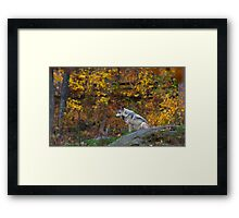 Lone Wolf - Timber Wolf Framed Print