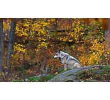 Lone Wolf - Timber Wolf Photographic Print