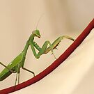 Mantis by Aase