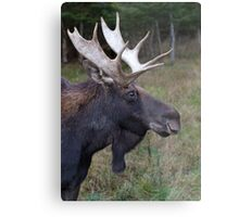 Canadian Moose Metal Print