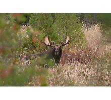 Bull Moose in Algonquin Park, Canada Photographic Print