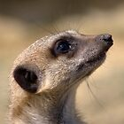 A meerkats face close up by Martyn Franklin