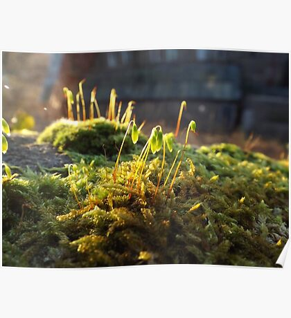 Winter moss in the sunlight Poster