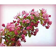 Cherry Blossoms - Impressions Photographic Print