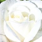 White Rose by AnnDixon