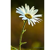 Big White Daisy Photographic Print