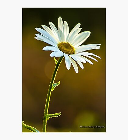 Big White Daisy Photographic Print