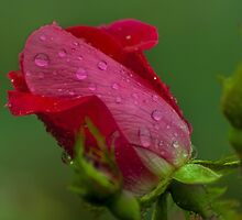 Rain Drops on a Pink Rose (1) by BLaskowsky