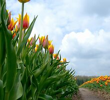 Tulips by hanspeters