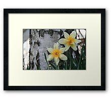 Old Fashion Daffodil at base of Birch Tree Framed Print