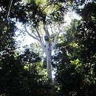 Sunlit Gumtree! World Heritage Rainforest Walk. Iluka, N.S.W. Nth Coast. by Rita Blom
