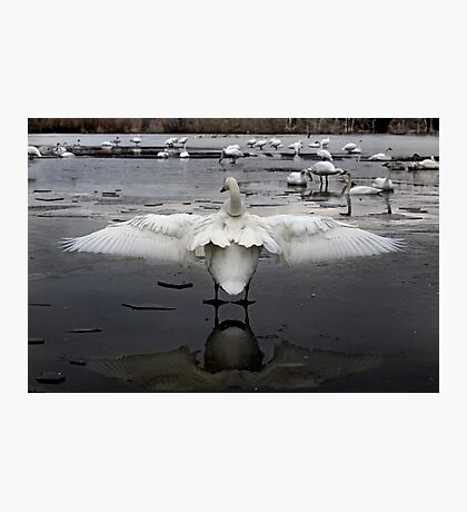 Trumpeter Swans of Heber Springs, AR - 2 Photographic Print