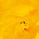 YELLOW ROSE  CARD by Thomas Barker-Detwiler
