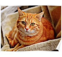 Cute Orange Cat Poster