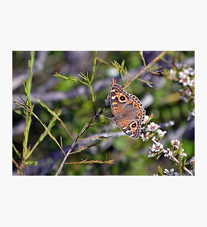 Australian Meadow Argus Butterfly Photographic Print