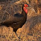 Ground Hornbill, Kruger National Park, South Africa by Erik Schlogl