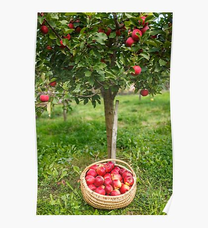Full basket near apple tree Poster
