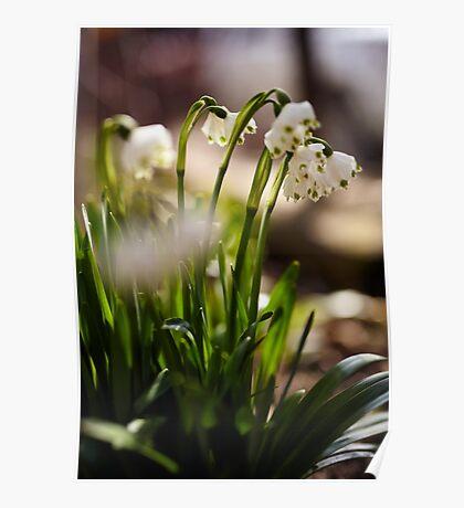 Spring snowdrop flowers Poster