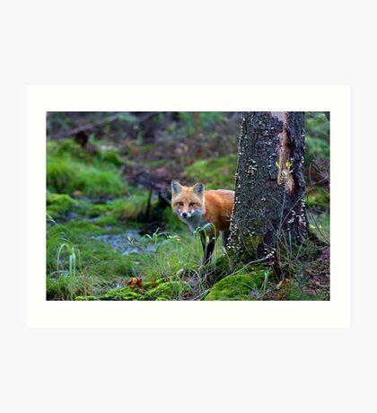 Red Fox - Algonquin Park, Canada Art Print