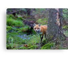 Red Fox - Algonquin Park, Canada Metal Print