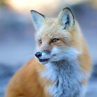 Red Fox - Algonquin Park, Canada by Jim Cumming
