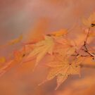 Japanese Maple by elasita
