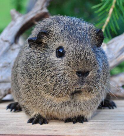 Cute Little Guinea Pig Sticker