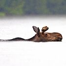 The Following - Moose, Algonquin Park, Canada by Jim Cumming