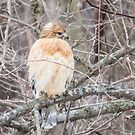 Red Shouldered Hawk At George Wyth Park, Waterloo, Iowa by Deb Fedeler