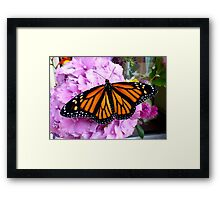 Imago Emerged! - Monarch Butterfly - NZ Framed Print