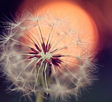 Sunset Dandelion by alyphoto