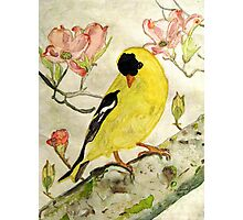 A Goldfinch Spring Photographic Print