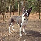 Meryl, the Boston Terrier by Ludwig Wagner