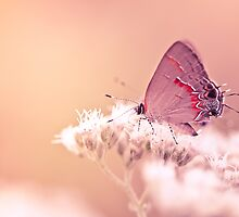 Hairstreak Butterfly On White Flower by alyphoto