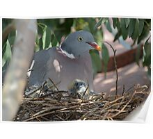 Wood Pigeon Family Poster