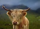 Highland Cow. Sconser. Isle of Skye. Scotland. by PhotosEcosse