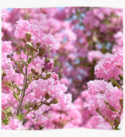 Pink Blossoms Poster