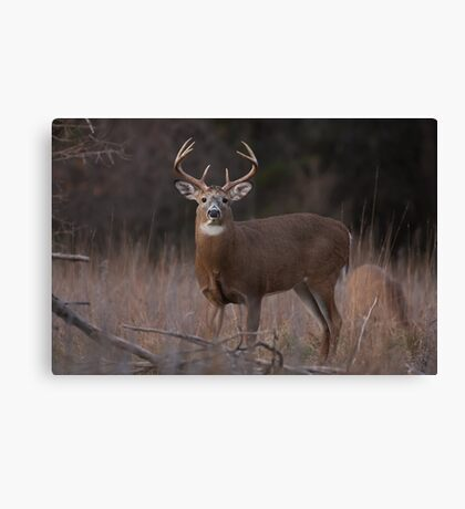 White-tailed deer buck with huge neck in autumn rut Canvas Print