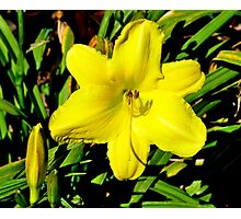 Yellow Lillium Photographic Print