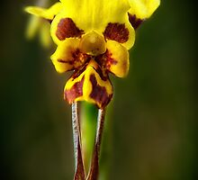 Leopard Orchid by Paul Amyes