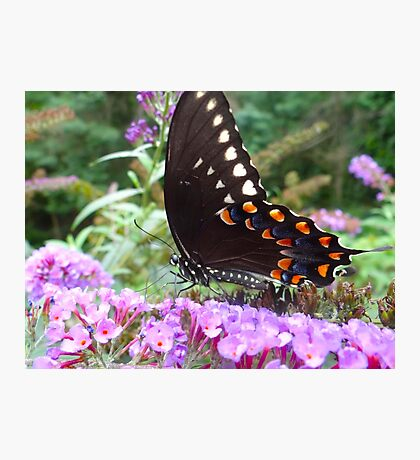 Spice Bush Swallowtail Butterfly Photographic Print