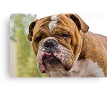 brindle bulldog Canvas Print