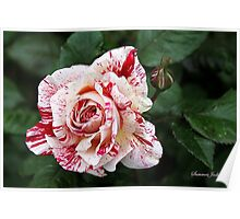 Peppermint Rose ~ Sweet and Spicy  Poster