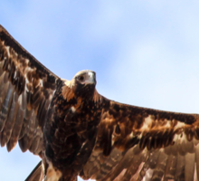 Wedge tailed Eagle Soaring Sticker